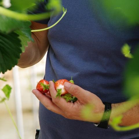 fraise cueillette