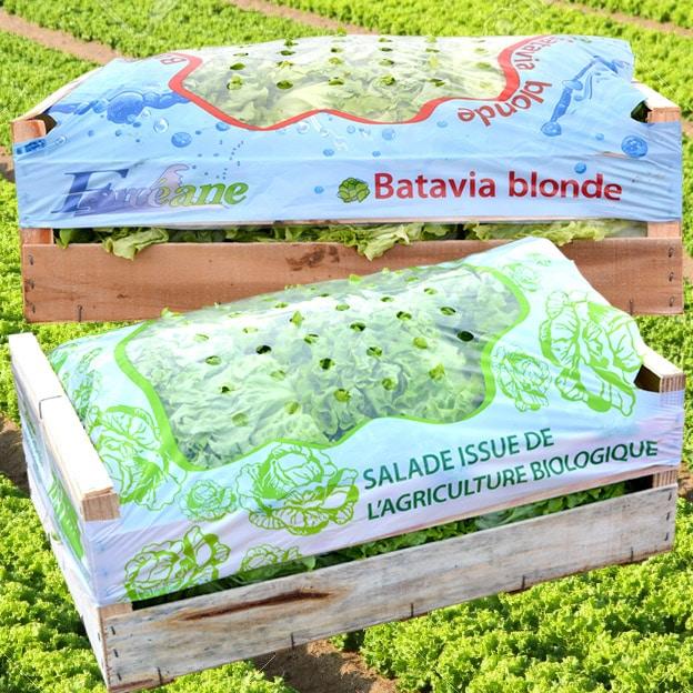 Salade issue de l'agriculture biologique batavia blonde